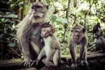 monkeys-in-ubud-bali-11